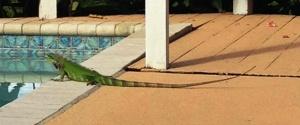green iguana close