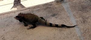 iguana at beach