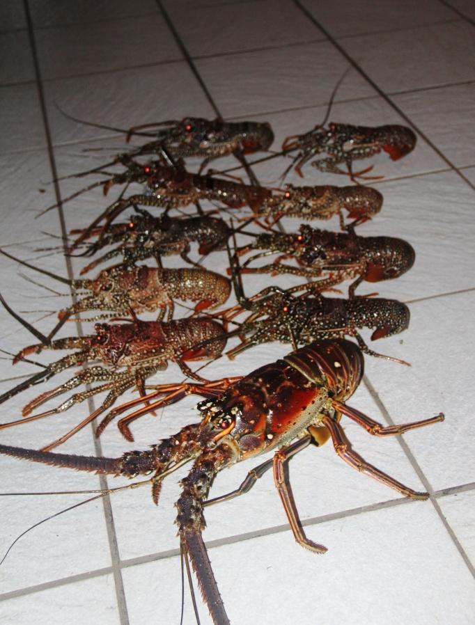 lobsters 10-8