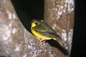yellow belly bird