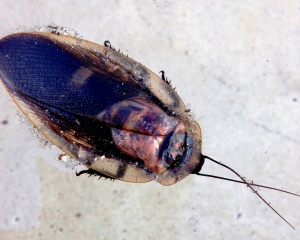 First cockroach. Found in the pool, dead.
