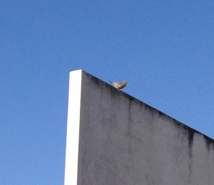 Mourning Dove perched on the wall